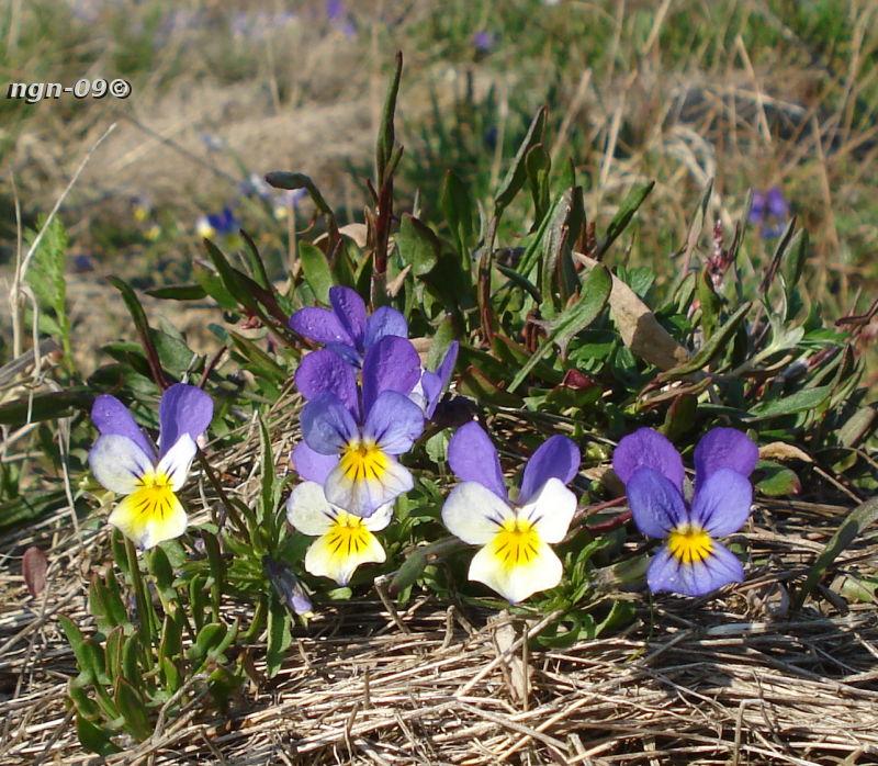 [Bild: Styvmorsviol (Viola tricolor)]