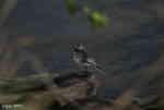 [Bild: Sädesärla (Motacilla alba), hona]