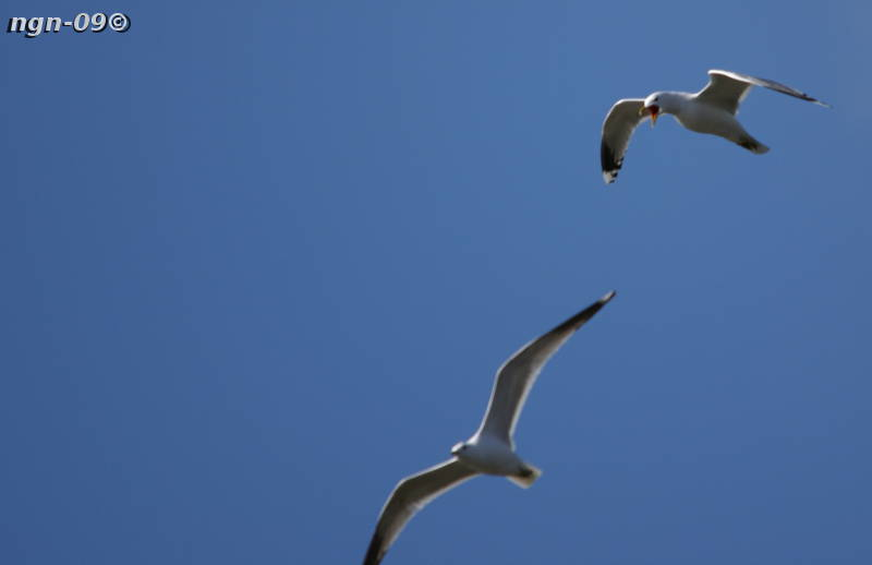 [Bild: Fiskmås (Larus canus)]