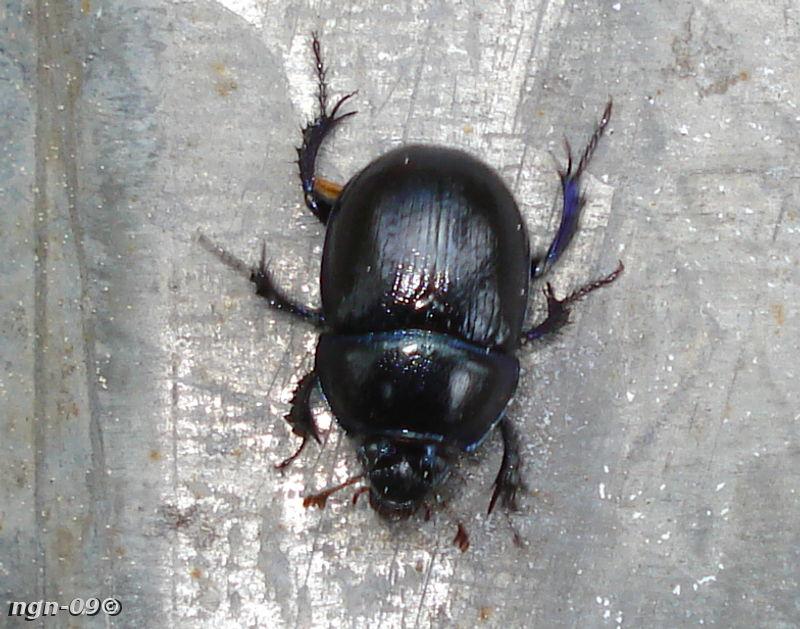 [Bild: Skogstordyvel (Geotrupes stercorosus)]