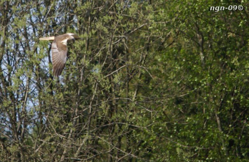 [Bild: Brun Kärrhök (Circus aeruginosus), vuxen hanne]