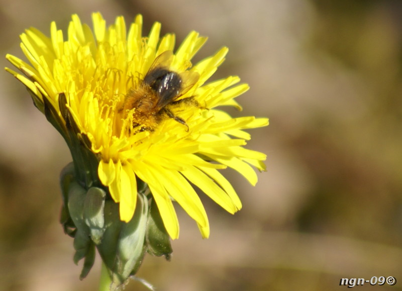[Bild: Åkerhumla (Bombus pascuorum), troligtvis en arbetare.]