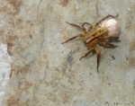 [Bild: Ängsvargspindel (Pardosa amentata), hona med äggkokong. Storlek (huvud+kropp) ca: 5-8mm]