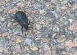 [Bild: Stor asbagge (Necrodes litoralis)]