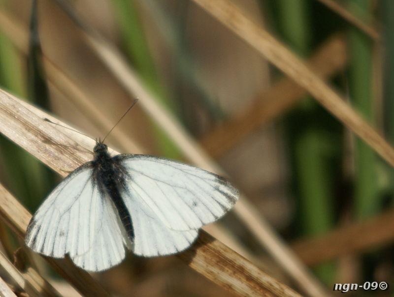 [Bild: Rovfjäril (Pieris rapae), hane]