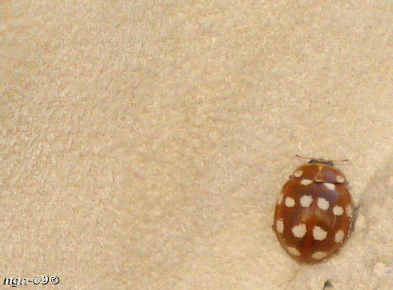 [Bild: 14-prickig nyckelpiga (Calvia quattuordecimpunctata)]