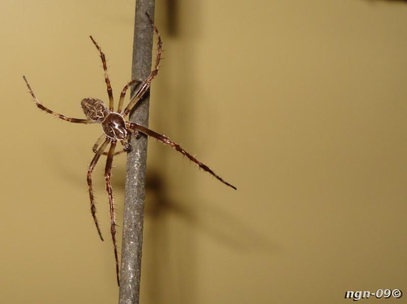 [Bild: Brospindel (Larinioides cornutus)]