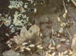[Bild: Vanlig stackmyra (Formica rufa)]
