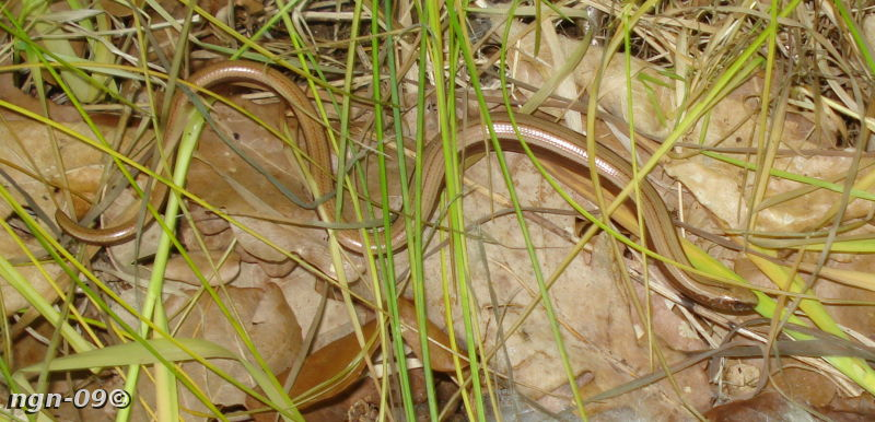 [Bild: Kopparödla (Anguis fragilis)]