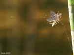 [Bild: Käkspindel (Tetragnatha montana), av någon sort...]