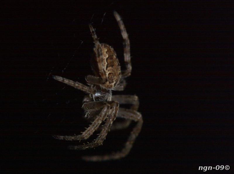 [Bild: Brospindel (Larinioides cornutus), av någon sort...]