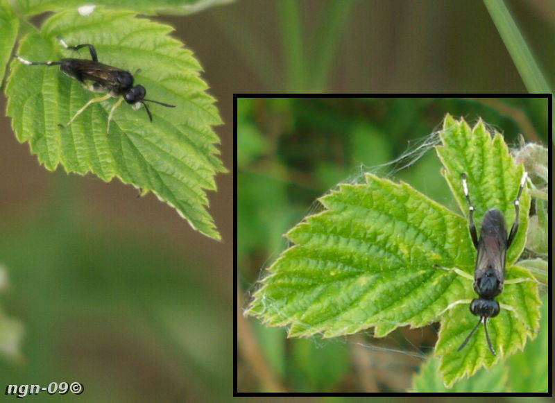 [Bild: Bladstekel (Macrophya montana Tenthredinidae), hane.]