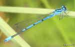 [Bild: Blå Flickslända (Coenagrion puella), hane.]
