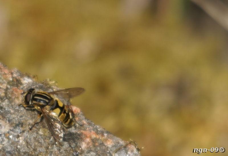 [Bild: Blomfluga (Heliophilus pendulus)]