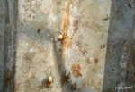 [Bild: Ängsvargspindel (Pardosa amentata), honor med äggkokong och Svart tuvmyra (Lasius niger)]