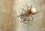 [Bild: Ängsvargspindel (Pardosa amentata), hona med äggkokong]