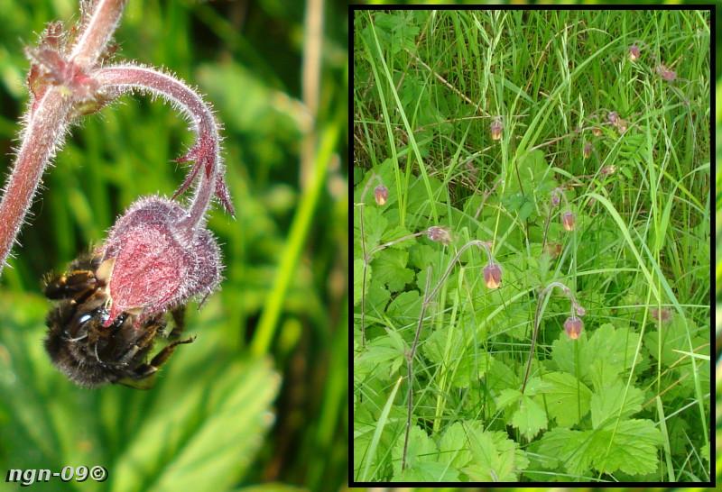 [Bild: Humla (Apidae) på Humleblomster (Genum rivale)]