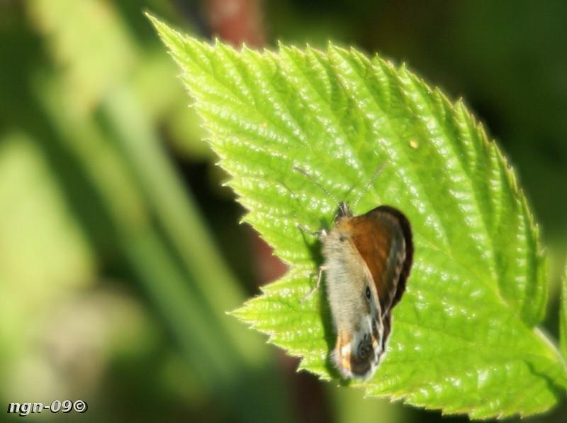 [Bild: Pärlgräsfjäril (Coenonympa arcania)]