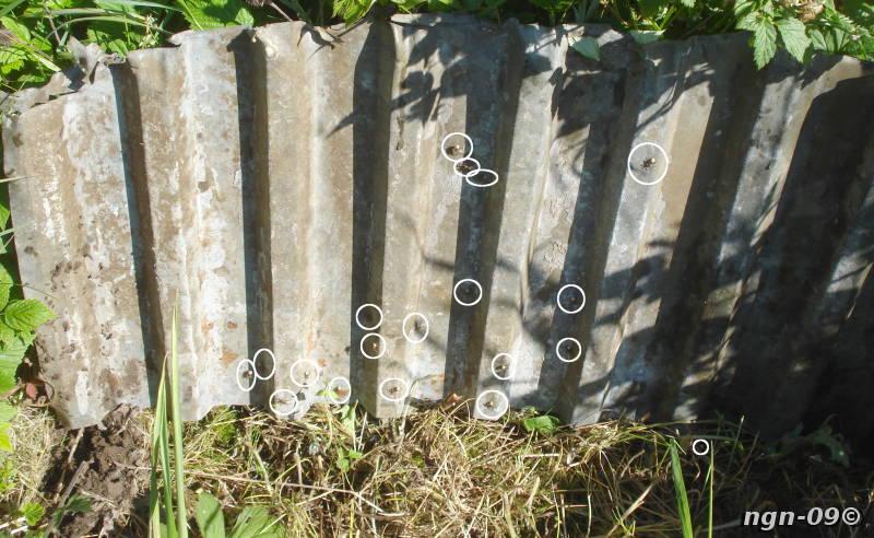 [Bild: Ängsvargspindel (Pardosa amentata) och Svart tuvmyra (Lasius niger)]