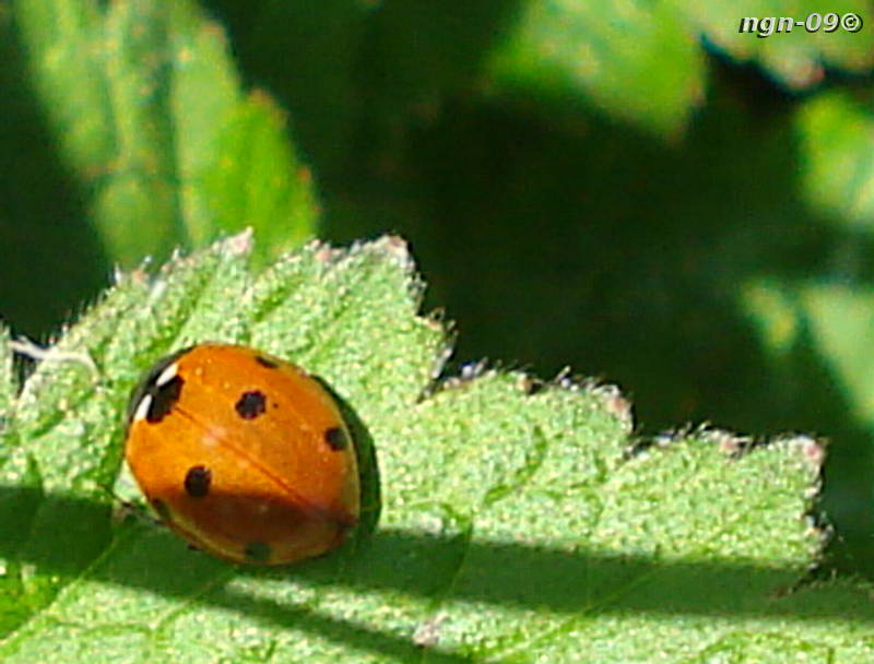[Bild: 7-prickig Nyckelpiga (Coccinella septempunctata)]
