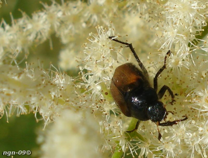[Bild: Bladhorning (Hoplia corniculata Scarabaeidae) eller Trädgårdsborre (Phyllopertha horticola)]