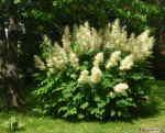 [Bild: Plymspirea (Aruncus dioicus)]