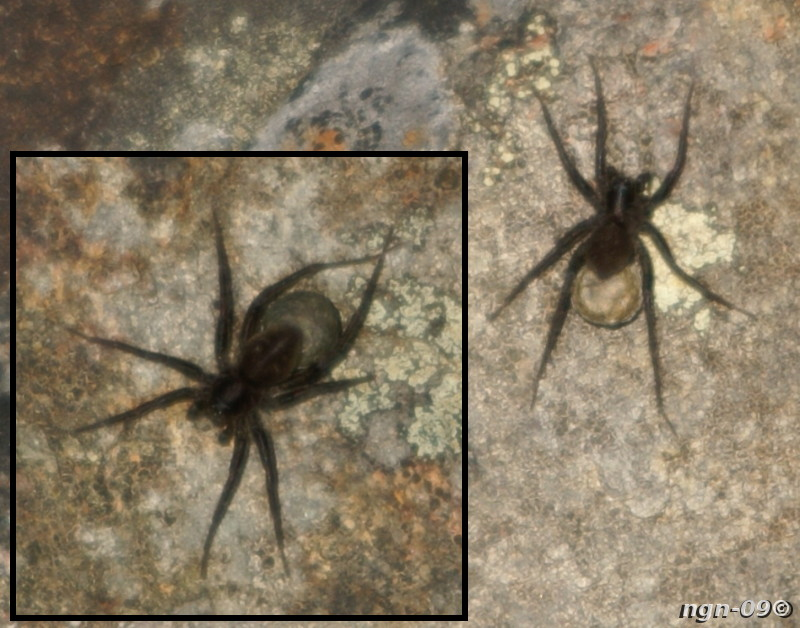 [Bild: Ängsvargsspindlar (Pardosa amentata) eller i vart fall Vargspindel (Lycosidae)]