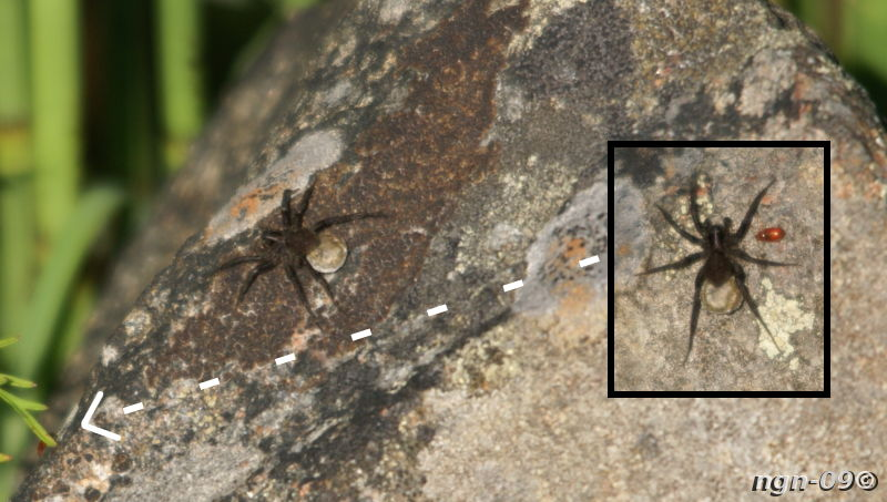 [Bild: Ängsvargsspindel (Pardosa amentata) eller i vart fall Vargspindel (Lycosidae) och någon slags röd lite skalbaggeliknande sak]