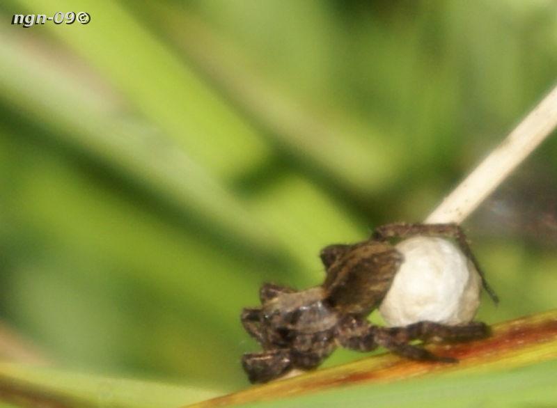 [Bild: Ängsvargspindel (Pardosa amentata)]