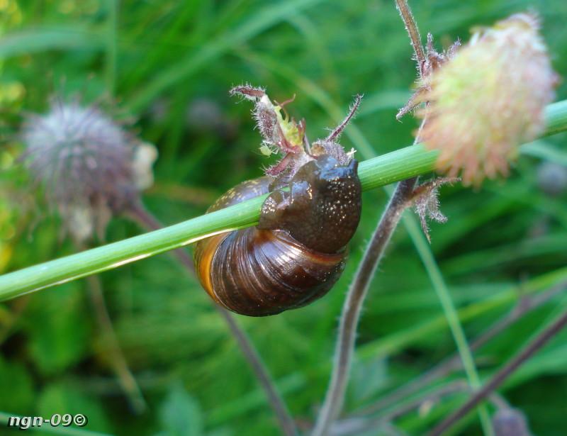 [Bild: Svärdslilja (Iris pseudacorus)]