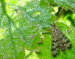 [Bild: Näbbslända (Panorpa meridionalis)]