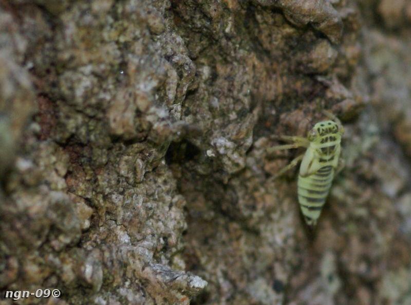 [Bild: Strit (Cicadellidae), Påminner mest om en Eupteryx aurata, en ung en.]
