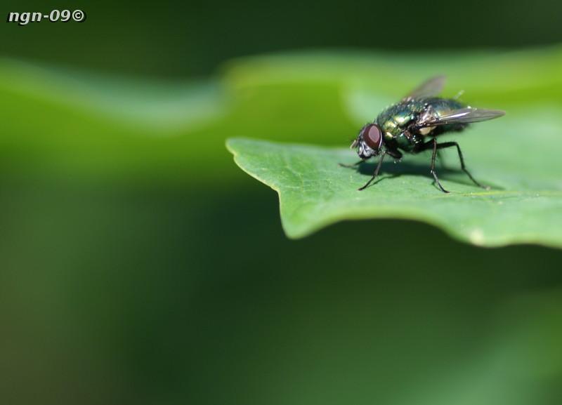 [Bild: Grön guldfluga (Orthellia cornicina)]