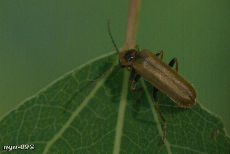 [Bild: Flugbagge (Rhagonycha limbata Cantharidae)]
