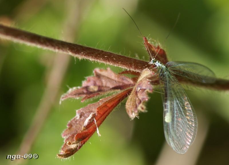 [Bild: Guldögonslända (Chrysopa perla Chrysopidae)]