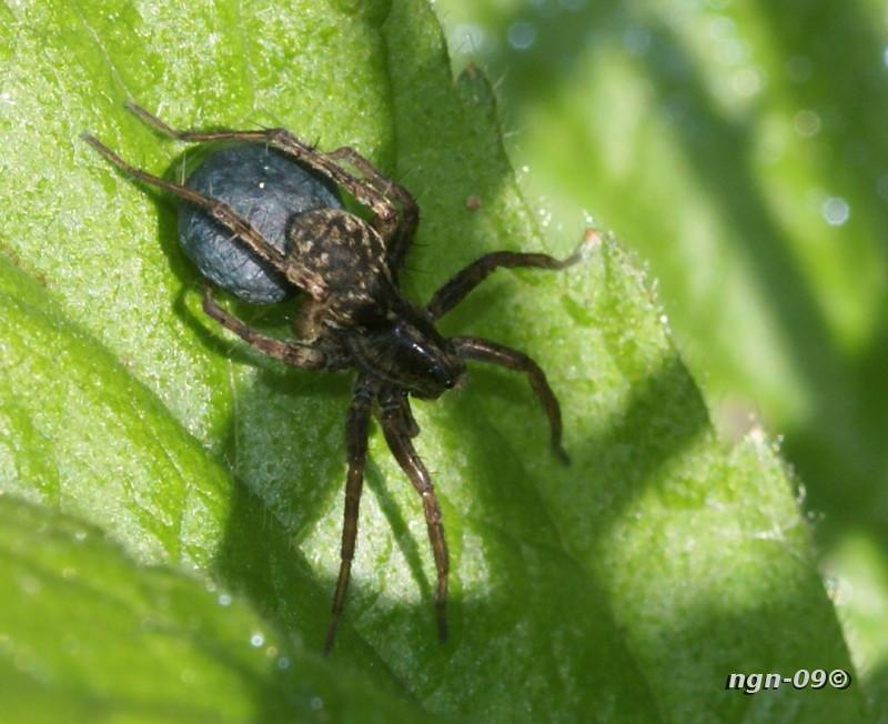 [Bild: Vargspindel (Lycosidae) eller Hoppspindel (Salticidae)?]