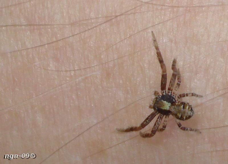 [Bild: Krabbspindel (Xysticus audax Thomisidae)]