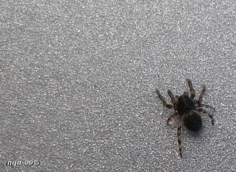 [Bild: Hoppspindel (Salticidae)]