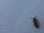 [Bild: Knäppare (Elateridae) Art: (Trixagus carinifrons eller T. duvalii)]