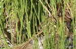 [Bild: Huggorm (Vipera berus) och Snok (Natrix natrix)]