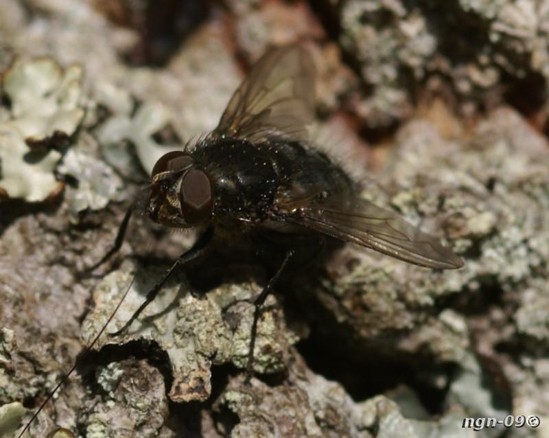 [Bild: Spyfluga (Pollenia vagabunda Calliphoridae)]