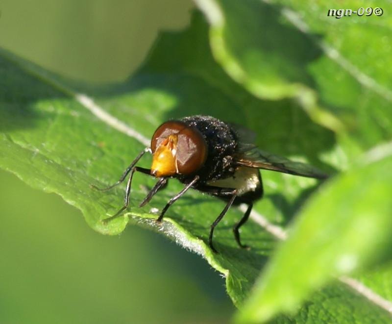 [Bild: Fönsterblomfluga (Volucella pellucens)]