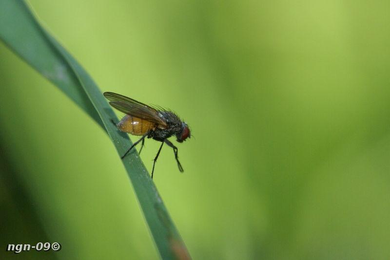 [Bild: Svamphusfluga (Phaonia subventa Muscidae)]