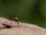 [Bild: Allmän skogsmygga (Aedes communis)]
