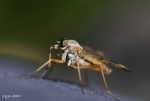 [Bild: Snäppfluga (Rhagio scolopaceus Rhagionidae)]