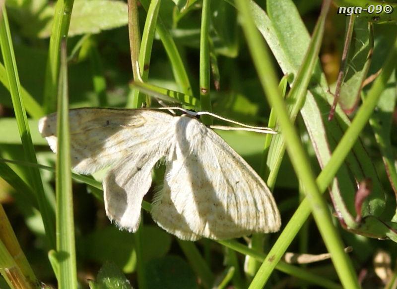 "[Bild: Fjäril, ""Soft-lined Wave"" (Scopula inductata geometridae)]"