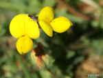 [Bild: Käringtand (Lotus corniculatus)]