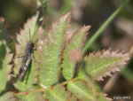 [Bild: Gräshoppa (Pyrgomorpha conica)]
