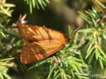 [Bild: Rödfransad björnspinnare (Diacrisia sannio), hona]