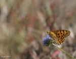 [Bild: Storfläckig pärlemorfjäril (Issoria lathonia)]
